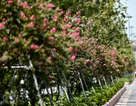 Con đường hoa tường vi nở hồng lãng mạn ở Hà Nội