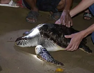 """""""Giải cứu"""" rùa biển nặng 15 kilogam đi lạc trên sông Hiếu"""