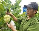 Cận cảnh giống na cho trái 'khủng, thu mỗi vụ trung bình 1 triệu đồng/cây