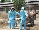 Phát hiện 5 xã, thị trấn với hàng ngàn con lợn bị tiêu hủy, một huyện mới công bố dịch