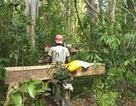 Tiếng thét đau đớn của rừng xanh Tây Nguyên và những thước hình gây sốc!