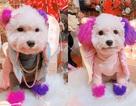 """Chú chó Hà Nội gây """"sốt"""" vì gu thời trang sành điệu, tạo dáng chuyên nghiệp như """"fashionista"""""""