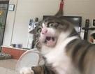 Chú mèo nổi tiếng mạng xã hội với biểu cảm gương mặt... hài hước