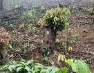 Khởi tố thêm 2 cán bộ huyện liên quan đền bù đất rừng