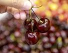 Việt Nam trở thành thị trường mới cho nông sản Mỹ trong cuộc chiến tranh thương mại