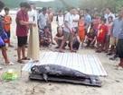 Cá voi hơn 70kg trôi dạt vào bờ biển Vũng Áng