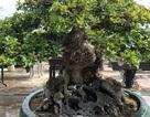 Mãn nhãn với cây ngâu bonsai cổ thụ trị giá hàng tỉ đồng