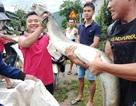Cá lệch dài 2m chết trôi trên sông, người dân vớt đem bán 5 triệu đồng