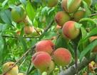 Những lợi ích sức khỏe của quả đào