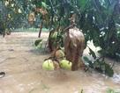 Hàng trăm hecta bưởi đặc sản chìm trong nước lũ