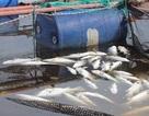 Dân khóc ròng nhìn 80 tấn cá đặc sản chết sạch sau một đêm