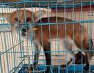 Công an bàn giao cáo, mèo rừng cho vườn Quốc gia Pù Mát