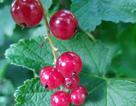 Nho chuỗi ngọc 2 triệu đồng/kg: Cây bụi mọc đầy rừng, ăn chua loét