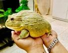 """Hơn triệu đồng 1 con ếch bé tẹo, """"dân chơi"""" vẫn bỏ tiền ra mua"""