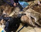 Triệt phá đường dây trộm chó, tiêu thụ khoảng 100 tấn