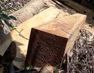 Hàng chục cây gỗ lớn bị đốn hạ ngổn ngang trong rừng tự nhiên