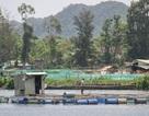 Đà Nẵng: Người dân nuôi cá lồng bè bất chấp lệnh cấm