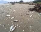 Gần 2 tấn cá chết trôi dạt vào bờ biển Hà Tĩnh