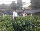 Thái Nguyên: Mang rau dại từ rừng về vườn, bán dễ, kiếm bộn tiền
