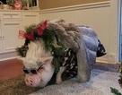 Cô gái chi cả ngàn đô để tổ chức sinh nhật cho... lợn