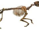 Chó tiền sử to bằng gấu xám Bắc Mỹ săn mồi bằng cách nào?