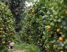 Giáp Tết: Về Phú Yên ngắm vườn quất vàng óng thu tiền triệu