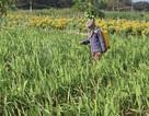 Giáp Tết, hàng trăm hộ trồng hoa ở Quảng Ngãi có nguy cơ trắng tay