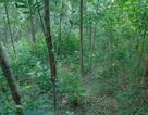 Phát hiện nhiều dấu chân nghi của bò tót ở Quảng Trị