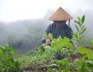 Trồng cải trên núi cao, nông dân thu nhập 400 - 500 ngàn đồng/ngày