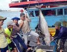 Giáp Tết: Ngư dân Phú Yên có tiền sắm tết vì trúng đậm cá ngừ đại dương