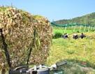 Quảng Ngãi: Tết buồn của người trồng tỏi