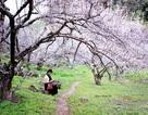 Sắc trắng hoa mơ, hoa mận níu chân du khách khi đến Mộc Châu