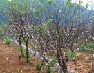 """Nông dân thủ phủ đào phai """"khóc"""" vì hoa bung nở trước Tết"""