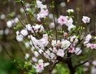 """Ngắm vườn mai trắng độc đáo ngay giữa """"thủ phủ"""" đào Nhật Tân"""