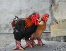 Thực hư chuyện gà Đông Tảo giá vài chục triệu đồng/con làm quà Tết