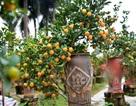 Độc đáo: Quất lọ bonsai hút khách chơi Tết