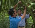 Vĩnh Long: Nông dân đang tất bật xuất dừa dứa tài lộc đón Tết