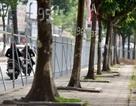 Hà Nội chi 3,6 tỷ đồng để di chuyển, chặt hạ 476 cây xanh như thế nào?