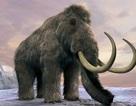 Ngà voi ma mút lông đang được buôn bán?