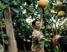 Người dân Phường Phú Diễn thu hoạch bưởi cho Tết Nguyên đán Kỷ Hợi