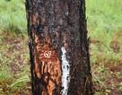 Cả rừng thông bị đầu độc, không biết quy trách nhiệm cho ai?!