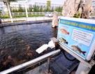 Đàn cá bơi lội trong bể nước thải của Formosa