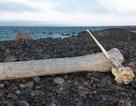Tìm thấy sừng kỳ lân biển nguyên vẹn hiếm gặp