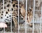 Một người đàn ông ở Cà Mau tử vong nghi sau khi bị mèo cắn
