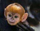 Khỉ con cực hiếm vừa được sinh ra tại vườn thú ở Úc