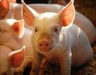 Thử tài bạn đọc với bài toán: Có bao nhiêu cách để xếp 4 con lợn?