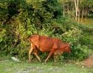 Oái oăm chuyện các cụ già không còn sức lao động được tặng bò để… thoát nghèo