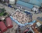 Triều Tiên đang cố tình che dấu thảm họa dịch cúm lợn?