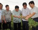 Quảng Trị:  Trồng sâm Bố Chính trên đất đỏ bazan, thu lãi hơn nửa tỷ đồng
