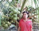 """Vườn dừa xiêm xanh """"Mã Lai"""" mỗi năm thu nửa tỷ của 9X ở Sóc Trăng"""
